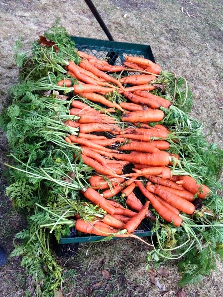 IMG_1171-1 carrot